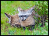 Löffelfuchs - bat-eared fox