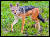 Schabrackenschakal (Black backed jackal)