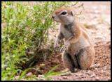 Erdhörnchen (African ground squirrel)