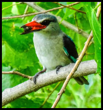 Senegalliest - woodland oder blue-and-white kingfisher